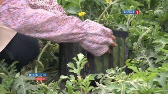【科普】日本的方形西瓜!