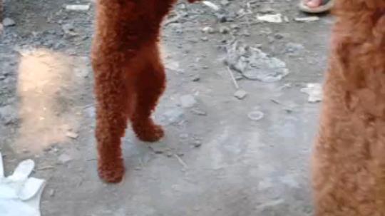 会走路的泰迪