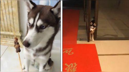 有才的网友:我不信世界上还有比二哈更蠢的狗子存在!